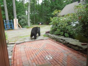 Harvard Rd Black Bear photo by Margaret Park Bridges
