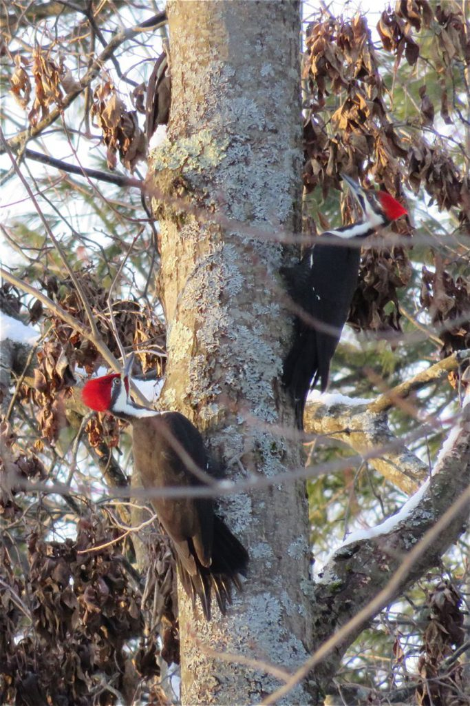 Three Pileated Woodpeckers on one tree.
