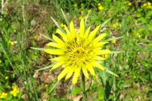 Image of Yellow Salsify Wildflower