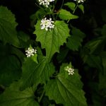 Garlic Mustard Flower and Seedpods
