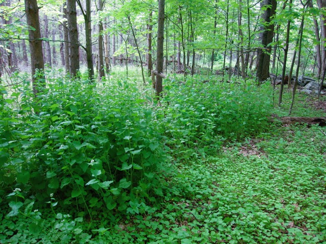 field of garlic mustard