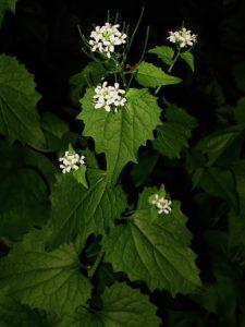 Help us map and eradicate invasive Garlic Mustard in Littleton ...
