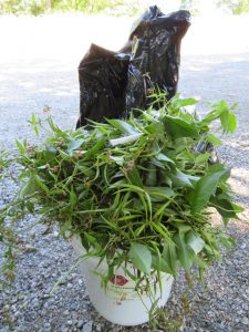 Photo of Bagged Black Swallow Wort