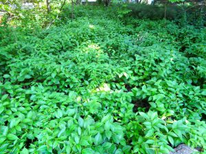 Photo of Large patch of Black Swallow Wort