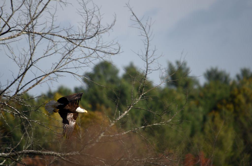 Presentation on The Bald Eagles of Nagog Pond
