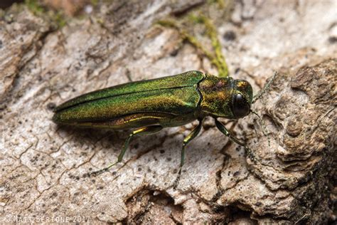 Emerald Ash Borer Info and The Wildlife of Long Lake