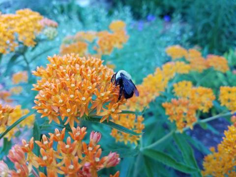 Native Pollinators and Pollination Systems Webinar with SVT